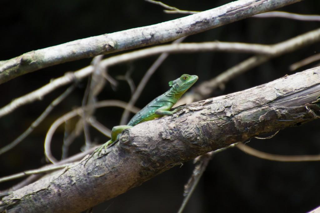 Basilisk Costa Rica