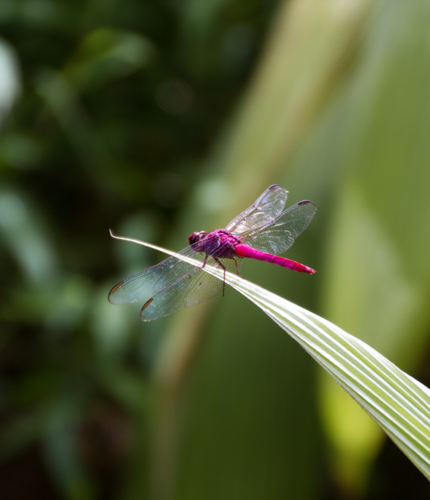 Dragonfly Costa Rica