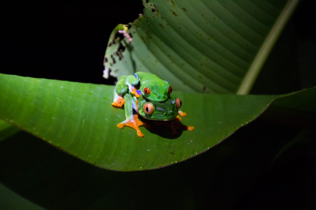 Night frog Costa Rica